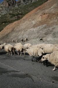 Ovejas en la carretera de Creta